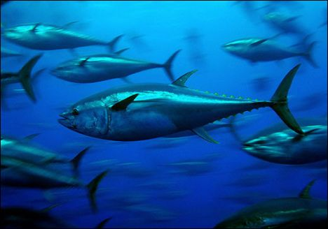 Bluefin_tuna